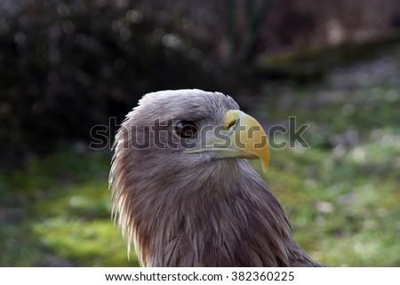 White tail Eagle look. - stock photo