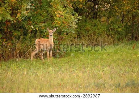 White Tail Fawn stands alert in clearing, early autumn - stock photo
