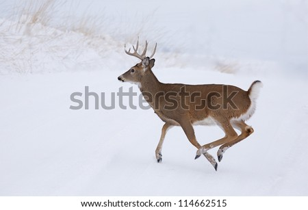 White-tailed Buck Deer running in winter snow; Whitetail deer hunting the midwest; white tail / whitetailed / white-tail / white tailed - stock photo