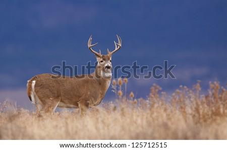 White-tailed buck deer stag in prairie grass against a natural blue background Whitetail deer hunting the western US: South Dakota North Dakota Montana Wyoming Idaho Colorado Nebraska Kansas - stock photo