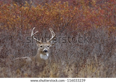 White tailed Buck deer stag lying in autumn landscape, fall colors; midwest midwestern big game deer hunting season - stock photo