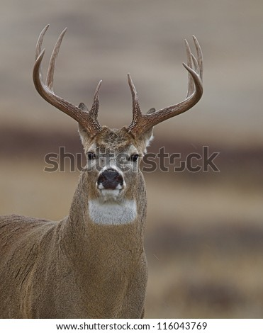 White tailed Buck Deer stag; Minnesota trophy deer hunting season, midwest / midwestern USA; white tail / whitetail / white-tail / white-tailed / whitetailed - stock photo