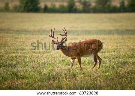 White Tailed Buck Deer Wildlife Animal in Blue Ridge Outdoors Nature Scene - stock photo