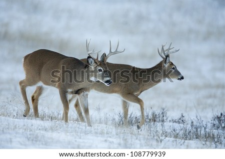 White tailed bucks in a snowy field - stock photo