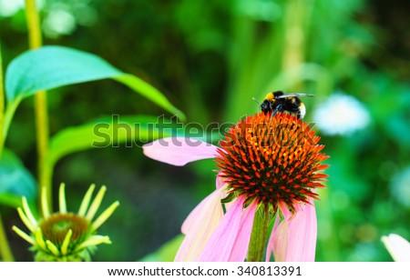 White-tailed Bumblebee on Echinacea flower. Echinacea purpurea (eastern purple coneflower or purple coneflower) flowers in bloom in the garden with colorful background - stock photo