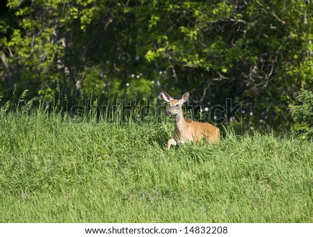 White-tailed deer, also known as Virginia deer, moving through thick and tall grasses - stock photo