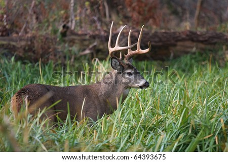 White-tailed Deer Buck - stock photo