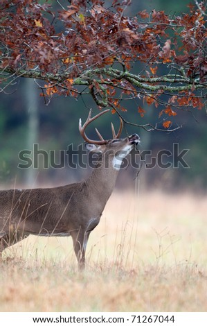 White-tailed deer buck chewing on branches and marking scent as part of rut behaviour - stock photo