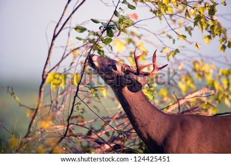 White-tailed deer buck feeding on leaves in Smoky Mountain National Park - stock photo