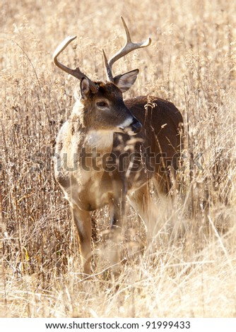 White tailed deer buck in tall grasses