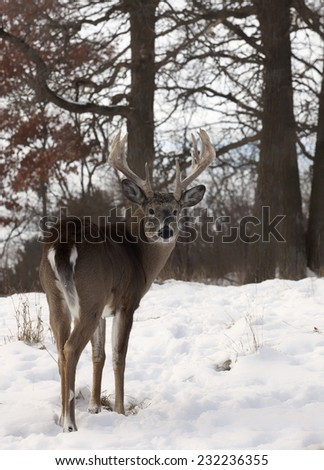 White-tailed deer buck looks over his shoulder.  Late Autumn in Wisconsin - stock photo