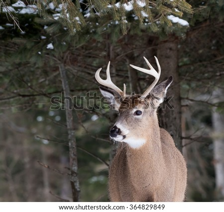 White-tailed Deer Buck Portrait in Winter