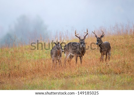 White-tailed deer bucks in an open meadow in Smoky Mountain National Park - stock photo