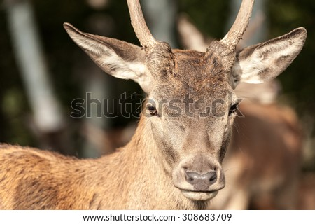 white-tailed deer closeup portrait looking at camera