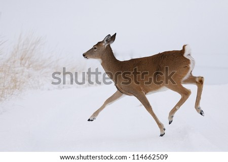 White-tailed Deer doe running in winter snow; Whitetail deer hunting the midwest; white tail / whitetailed / white-tail / white tailed - stock photo