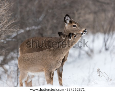 White-tailed Deer Doe with Fawn in Winter