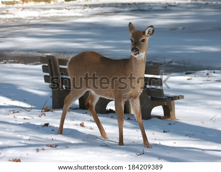 White-tailed Deer eating food at park on snow - stock photo