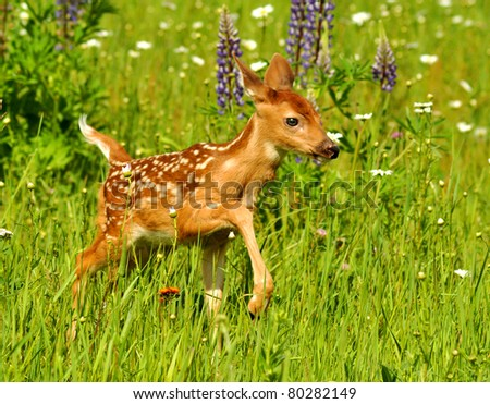White-tailed deer fawn in field of flowers - - stock photo