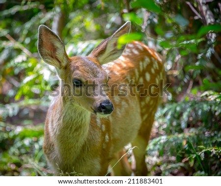 White-tailed Deer Fawn in woods in Mt. Rainier National Park - stock photo