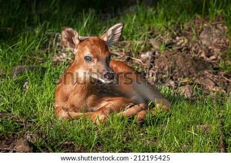 White-Tailed Deer Fawn (Odocoileus virginianus) Looks at Viewer - captive animal