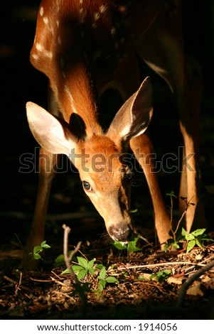 White tailed deer fawn (Odocoileus virginianus), Marshlands Conservancy, Rye, New York - stock photo