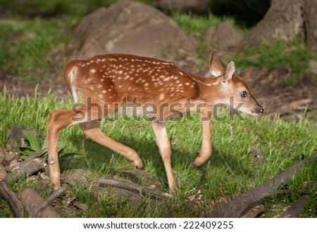 White-Tailed Deer Fawn (Odocoileus virginianus) Moves Right - captive animal - stock photo
