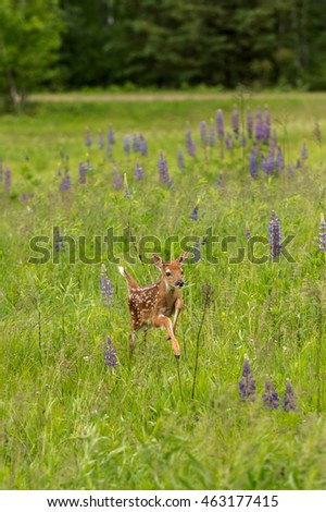 White-Tailed Deer Fawn (Odocoileus virginianus) Runs Right Through Lupin - captive animal
