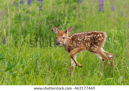 White-Tailed Deer Fawn (Odocoileus virginianus) Steps Through Grasses - captive animal