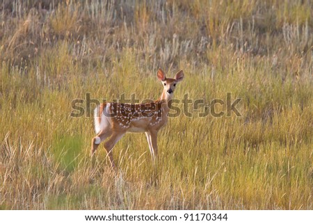 White tailed Deer fawn standing in field