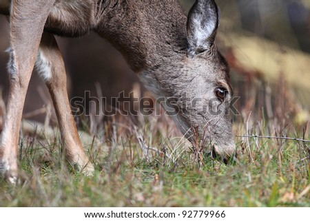 White tailed deer feeding - stock photo