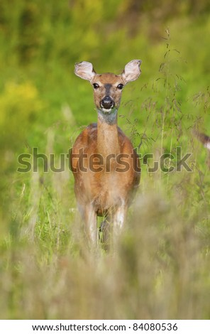 White-tailed deer grazing in a meadow.