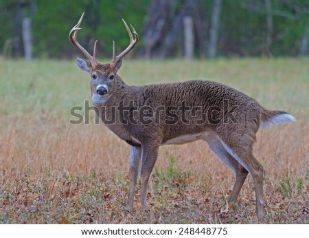 White tailed deer in Cades Cove, part of the Smoky Mountains. - stock photo