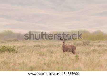 White-tailed deer in open prairies at dawn, Grasslands National Park Saskatchewan Canada - stock photo