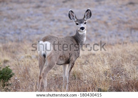 White tailed deer in the meadow - stock photo