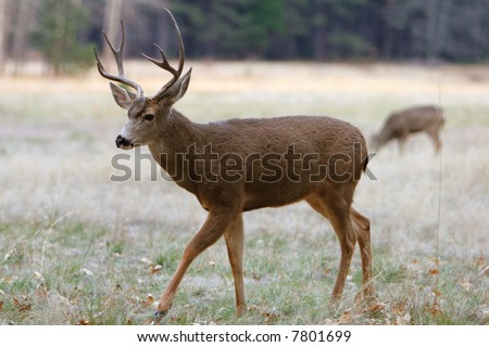 White-tailed Deer in Yosemite - stock photo
