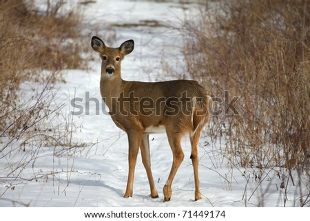 White-tailed Deer Odocoileus virginianus - stock photo