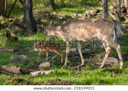 White-Tailed Deer (Odocoileus virginianus) and Fawn - captive animals - stock photo