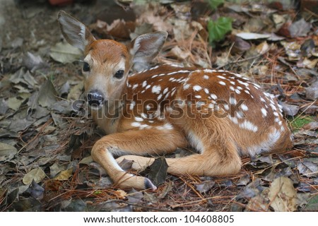White-tailed Deer (Odocoileus virginianus) Fawn just a little over an hour old - stock photo