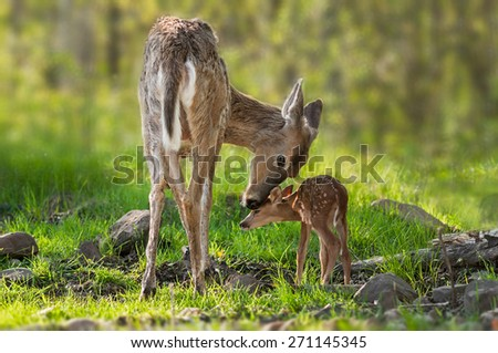 White-Tailed Deer (Odocoileus virginianus) Mother and Fawn - captive animals - stock photo