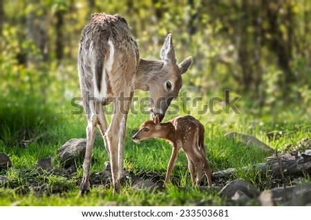White-Tailed Deer (Odocoileus virginianus) Sniffs Behind Fawn's Ears - captive animals - stock photo