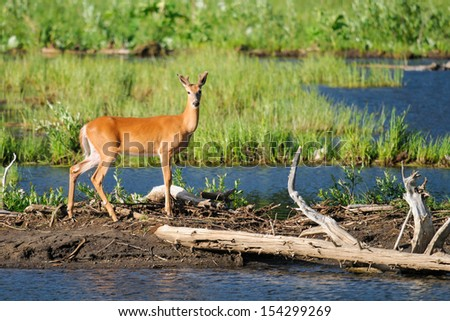 White-tailed deer on the shores of a mountain pond, Alberta Canada