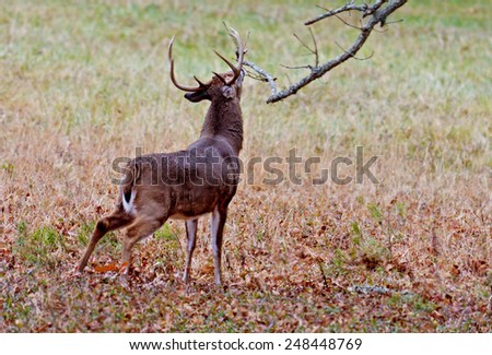 White tailed deer stretches his antlers to touch an overhead limb. - stock photo