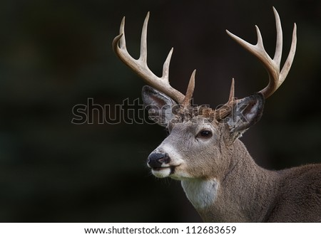White tailed Deer, Ten point buck, portrait isolated on a dark natural background; white tail / white-tail / whitetailed / whitetail / white-tailed - stock photo
