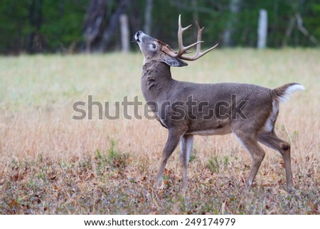 White tailed deer throws his head back winding. - stock photo