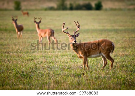 White Tailed Deer Wildlife Animals in Blue Ridge Outdoors Nature Scene - stock photo