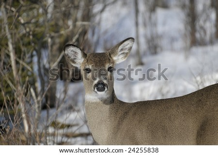 White-tailed Doe in Winter Horizontal - stock photo