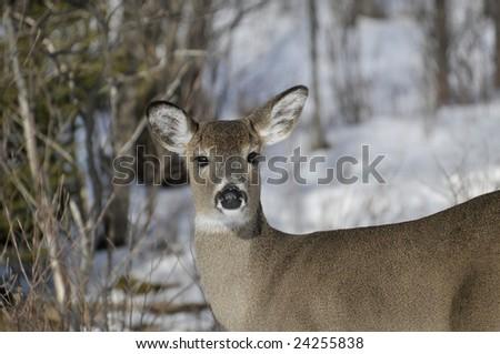 White-tailed Doe in Winter Horizontal - stock photo