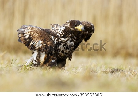 White-tailed eagle after landing - stock photo
