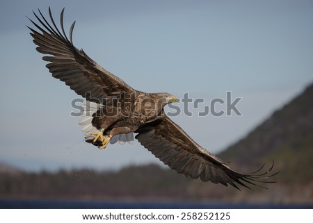 White-tailed eagle flying off with catch - stock photo