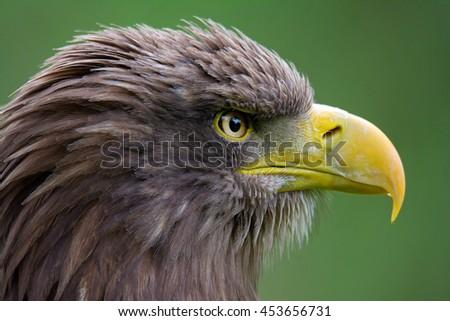 White-tailed Eagle (Haliaeetus albicilla) detail eagle's head in beautiful colors - stock photo
